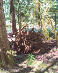 A root wad remains well in the surrounding timber to assure that the benefits provided by the attached tree in the river is there for years to come.